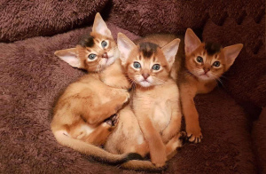 Photo №1. abyssinian cat - for sale in the city of Vilnius | 432$ | Announcement № 855