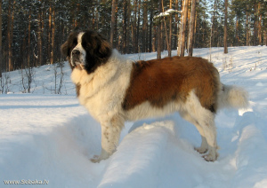 Photo №1. Mating service - breed: moscow watchdog. Price - 400$