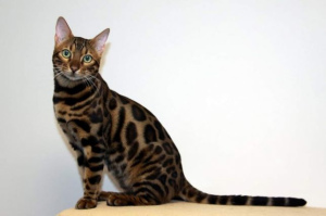 Photo №2. Mating service bengal cat. Price - 134$