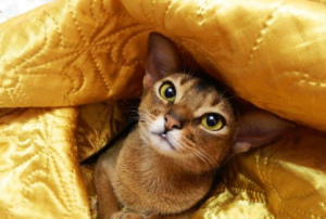Photo №2 to announcement № 1075 for the sale of abyssinian cat - buy in Ukraine breeder