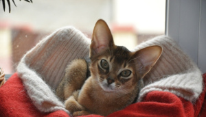 Photo №3. Come to us for the Abyssinian kittens. Ukraine