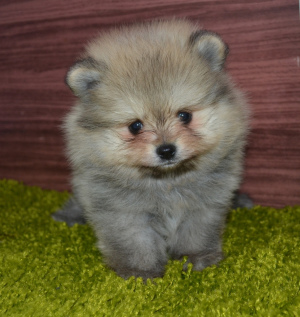 Photo №1. pomeranian - for sale in the city of Cherepovets | 266$ | Announcement № 1224