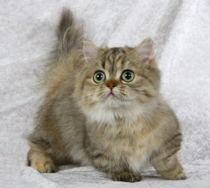 Photo №1. minuet cat longhair - for sale in the city of Varna | 700$ | Announcement № 699
