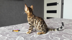 Photo №2 to announcement № 1093 for the sale of bengal cat - buy in Belarus from nursery