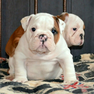 Photo №2 to announcement № 1468 for the sale of english bulldog - buy in Russian Federation private announcement