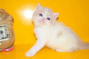 Photo №2 to announcement № 1061 for the sale of exotic shorthair - buy in Ukraine private announcement, breeder