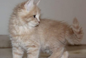 Photo №2 to announcement № 907 for the sale of maine coon - buy in France private announcement