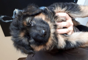 Photo №4. I will sell german shepherd in the city of Lambesc. private announcement, breeder - price - 1117$