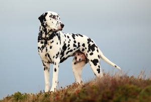 Photo №1. Mating service - breed: dalmatian dog. Price - 250$
