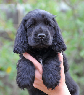 Photo №2 to announcement № 517 for the sale of english cocker spaniel - buy in Switzerland breeder