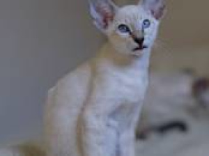 Photo №3. Gorgeous siamese oriental kitty is free to sell and ready to move.. Belarus