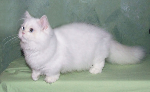 Photo №1. Mating service - breed: minuet cat longhair. Price - 237$