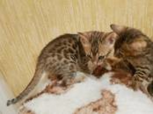 Photo №4. I will sell abyssinian cat in the city of Riga. private announcement, breeder - price - 388$