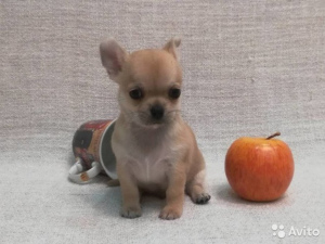 Photo №1. chihuahua - for sale in the city of Namur | 1441$ | Announcement № 512