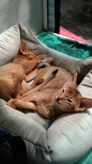 Additional photos: Kennel Santa Catarina * BY the experience of 13 years offers Abyssinian kittens