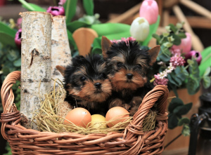 Photo №2 to announcement № 1383 for the sale of yorkshire terrier - buy in Russian Federation private announcement