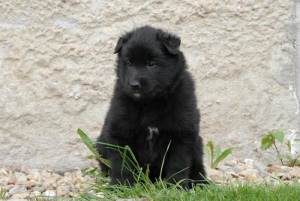 Photo №1. groenendael dog - for sale in the city of Tbilisi | 1200$ | Announcement № 658