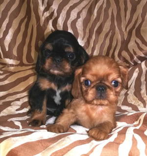 Additional photos: Puppies are offered for sale by King Charles Spaniel (English Toy Spaniel).