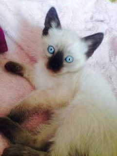 Photo №2 to announcement № 889 for the sale of siamese cat - buy in Russian Federation private announcement