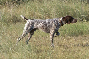 Photo №2. Mating service german shorthaired pointer. Price - 200$