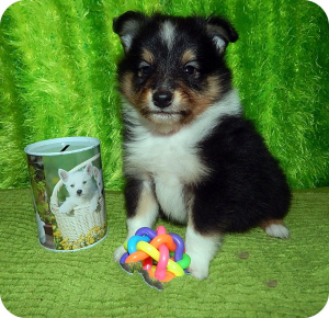Photo №1. shetland sheepdog - for sale in the city of Kazan | 342$ | Announcement № 1454