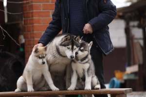 Photo №1. siberian husky - for sale in the city of Voronezh | negotiated | Announcement № 1801