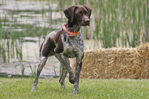 Photo №1. Mating service - breed: german shorthaired pointer. Price - 200$