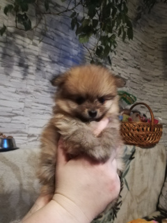 Photo №4. I will sell pomeranian in the city of Minsk. private announcement - price - Is free