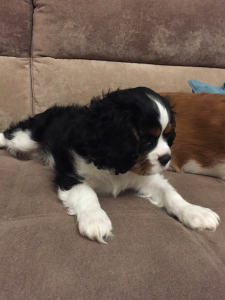 Additional photos: Beauty cavalier is looking for a family