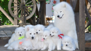Photo №1. samoyed dog - for sale in the city of Minsk | 2000$ | Announcement № 398