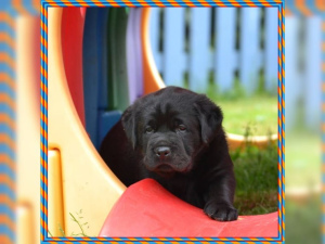 Additional photos: We have beautiful Labrador puppies of best descent in the colors yellow and