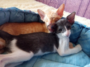 Photo №1. oriental shorthair - for sale in the city of Tyumen | 786$ | Announcement № 1552