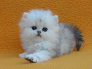 Photo №2 to announcement № 986 for the sale of persian cat - buy in Russian Federation breeder