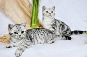 Photo №1. british shorthair - for sale in the city of Dusseldorf | 660$ | Announcement № 727