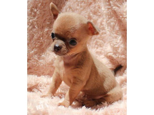 Photo №2 to announcement № 512 for the sale of chihuahua - buy in Belgium private announcement