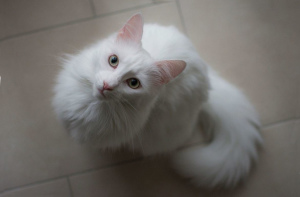 Photo №3. Turkish angora. Little white fluffy ball in good responsible hands. Belarus