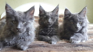 Photo №1. maine coon - for sale in the city of St. Petersburg | 700$ | Announcement № 390