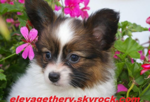 Photo №1. papillon dog - for sale in the city of Boulogne-Billancourt | 926$ | Announcement № 865