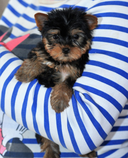 Photo №1. yorkshire terrier - for sale in the city of Ufa | 130$ | Announcement № 1383