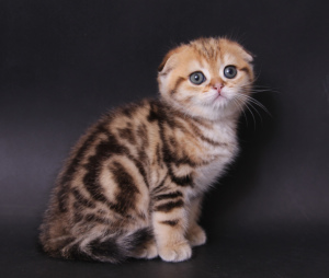 Photo №1. scottish fold - for sale in the city of Astana | 300$ | Announcement № 489