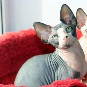Photo №1. sphynx-katze - for sale in the city of Mogilyov | 500$ | Announcement № 5979