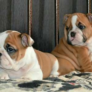 Photo №4. I will sell english bulldog in the city of Novorossiysk. private announcement - price - 779$