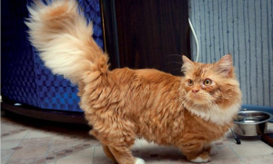 Photo №1. Mating service - breed: minuet cat longhair. Price - negotiated