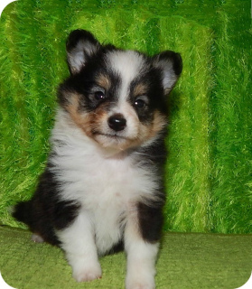 Photo №3. Wonderful boys and sheltie girls are offered for reservation. Russian Federation