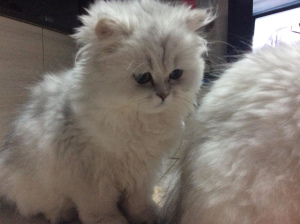 Photo №4. I will sell persian cat in the city of Wégifa. breeder - price - 1335$