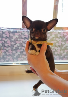 Photo №1. chihuahua - for sale in the city of Иваново | 741$ | Announcement № 8699
