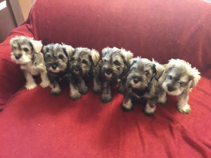 Photo №1. schnauzer - for sale in the city of Minsk | 443$ | Announcement № 2319