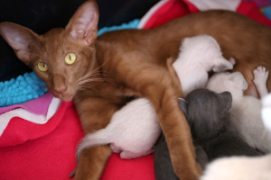 Photo №1. oriental shorthair - for sale in the city of Lviv | 200$ | Announcement № 278