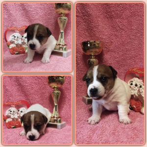 Photo №1. jack russell terrier - for sale in the city of St. Petersburg | Negotiated | Announcement № 1262