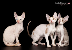 Photo №3. VIP-kittens breed Cornish Rex. Russian Federation